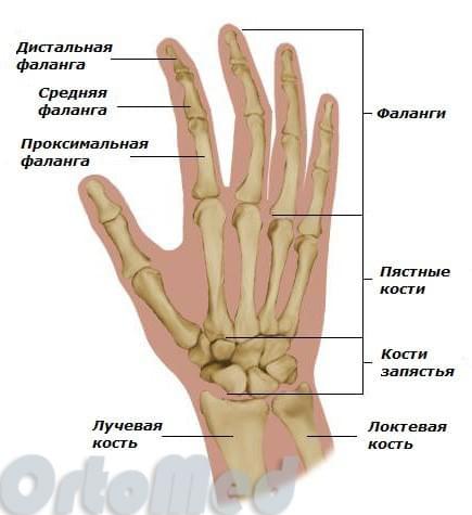 анатомия кисти руки