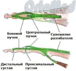 сухожилие разгибателя пальца
