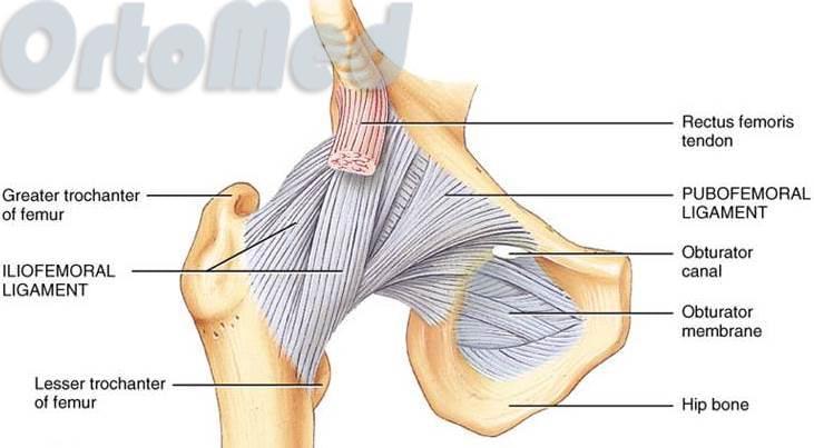 мышцы и сухожилия тазобедренного сустава