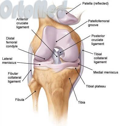 Структура коленного сустава человека что такое конгруэнтность сустава